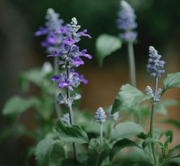 Salvia officinalis ekstrakt Medkeskus.ee